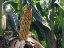 Ear of corn, corn crop