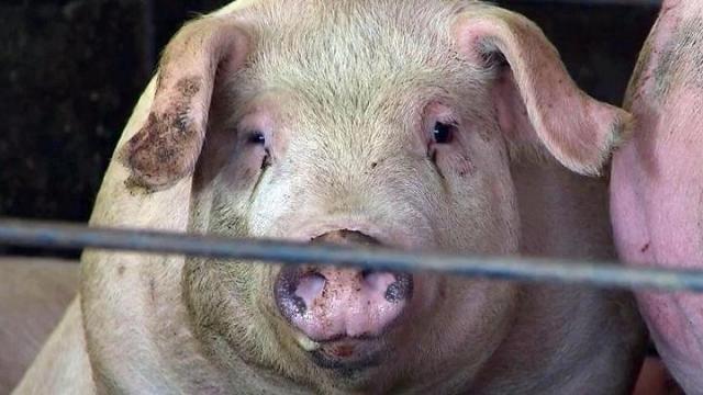 A hog at a North Carolina farming operation