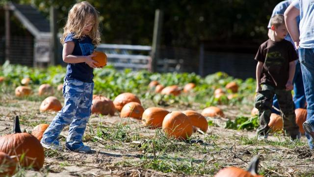 Three-year-old Gracie looks for just the right one in the pumpkin patch at Smith's Nursery in Benson on Oct. 15, 2011.