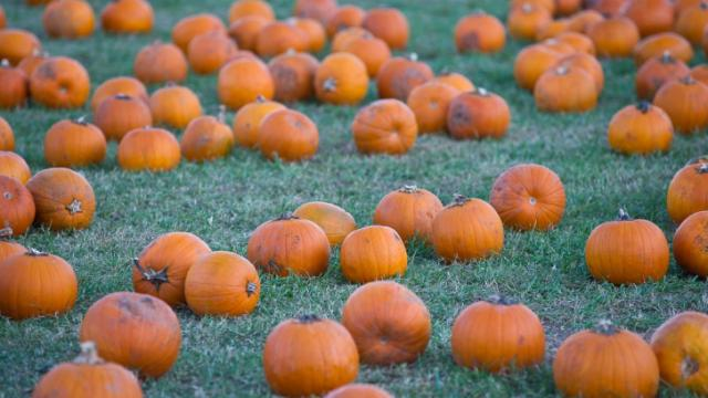 Pumpkins are ready for carving at Hill Ridge Farms in Youngsville on October 15, 2011.