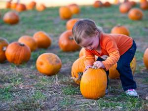 19-month-old Mollie checks out a pumpkin at Hill Ridge Farms in Youngsville on October 15, 2011.