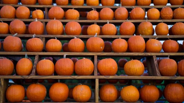 Pumpkins are on display and for sale at Hill Ridge Farms in Youngsville on October 15, 2011.
