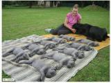 gray puppies