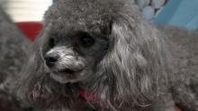 """Poodles star in """"Susie's Hope"""""""