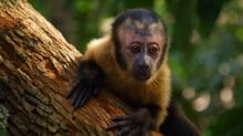 "A capuchin monkey is the star of the semi-documentary ""Amazonia,"" narrated by Martin Sheen. The film is now on Blu-ray and DVD. (Deseret Photo)"