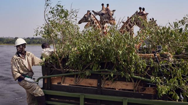"In the heart of Uganda, 20 rare giraffes are transported down the Nile River for protection in the ""Nature"" episode,"" Giraffes: Africa's Gentle Giants,"" now on DVD. (Deseret Photo)"