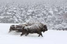 "Buffalo in the winter are captured in stunning cinematography for the European wildlife documentary ""Seasons,"" now on DVD. (Deseret Photo)"