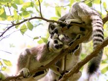 Duke Lemur Center hosts Earth Day open house