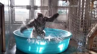 Gorilla 'dances' in baby pool at Dallas zoo