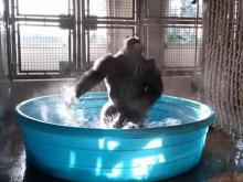Have You Seen This? Gorilla dances like no one is watching