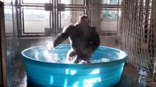 IMAGE: Have You Seen This? Gorilla dances like no one is watching