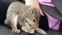 IMAGE: Squirrel named Mr. Nuts taken to wildlife center after 'wild 24 hours' with UNC professor