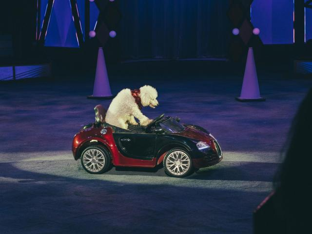 A poodle tools around in a miniature sports car at the Big Apple Circus at Lincoln Center for the Performing Arts in New York, Nov. 14, 2018. The circus is wholesome family entertainment, the acts don't overstay their welcome and the cast is robustly international. (George Etheredge/For The New York Times)