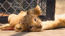 IMAGE: This Lion Cub Was The Model For Baby Simba In The 'Lion King' Remake