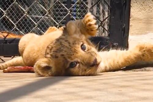 This Lion Cub Was The Model For Baby Simba In The 'Lion King' Remake (Simplemost Photo)