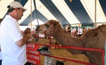Feeding a camel at the petting zoo