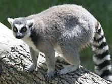 Life and Science Lemur