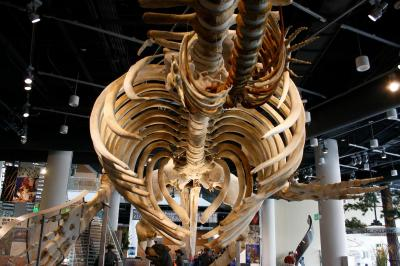 "The 52-foot, 6,000 pound skeleton of ""Stumpy"" the whale during the opening of the Nature Research Center at the North Carolina Museum of Natural Sciences on April 20, 2012."