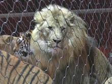 Lion from ringling bros