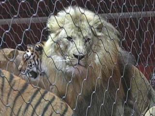 This lion is part of the Ringling Bros and Barnum and Bailey circus.