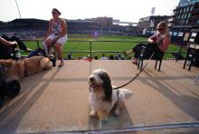 Fenway, a Petit Basset Griffon Venden and named after the home of the Boston Red Sox, sits over right field during Bark in the Park night at the Durham Bulls Athletic Park Wednesday, June 19, 2013. It was the second time this season the Bulls worked with Second Chance Pet Adoptions to raise money for the no-kill animal shelter.  (Photo by Jeffrey A. Camarati)