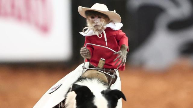 Whiplash the Cowboy Monkey thrills the crowd. World's Toughest Rodeo comes to the PNC Arena on Friday January 17, 2014. Featuring many local riders and Whiplash the Cowboy Monkey. (Chris Baird / WRAL Contributor).