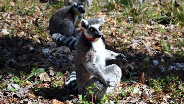 The Duke Lemur Center houses many different types of this endangered species.