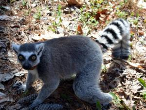 Visit lemurs up close at the Duke Lemur Center.