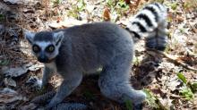 IMAGES: Duke Lemur Center celebrates Lemur Week