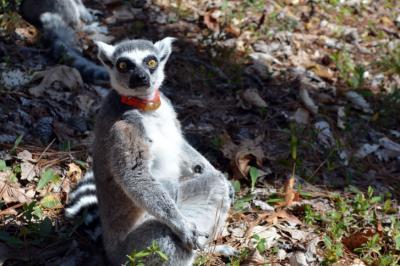 Visit lemurs up close at the Duke Lemur Center.