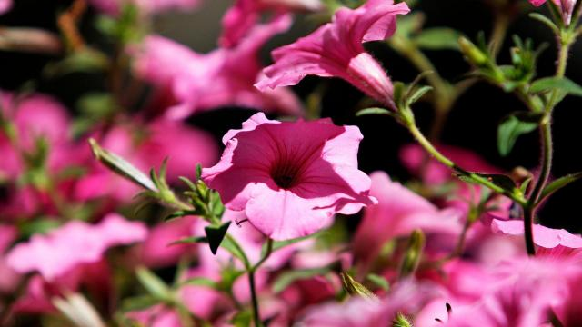 Purple flowers line the streets at the annual Dogwood Festival held in Fayetteville Saturday afternoon.  Wes Hight / WRAL Contributor
