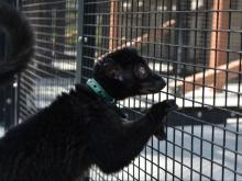 Seeing a lemur up close during the Walking with Lemurs experience at the Duke Lemur Center.