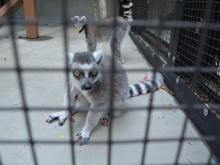 Population growing at Duke Lemur Center