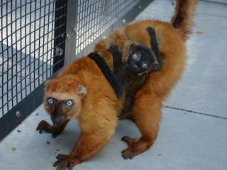 A blue-eyed lemur and her baby pose for a photo during the Walking with Lemurs experience at Duke Lemur Center.