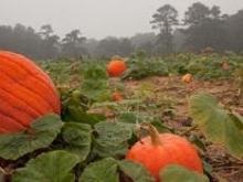 Pumpkin Patch at Gross Farms