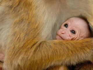 Monkey Kingdom (DisneyNature 2015)