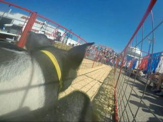 Race alongside a Circle 'C' Pig at State Fair