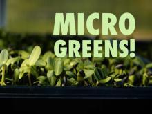 Sweet Pea Urban Garden grows micro-greens