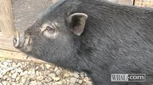 Theodore, Justin Miller's pig.