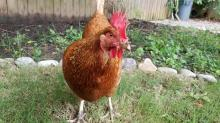 IMAGES: Visit chickens and bees at Tour D'Coop