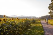 IMAGES: Sunflowers in bloom at Biltmore Estates