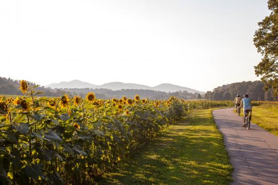 Sunflowers in bloom at Biltmore Estates