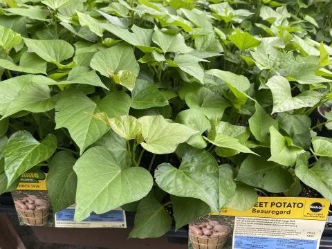 While its too late in the season to plant potatoes, its a perfect time to try growing sweet potatoes.
