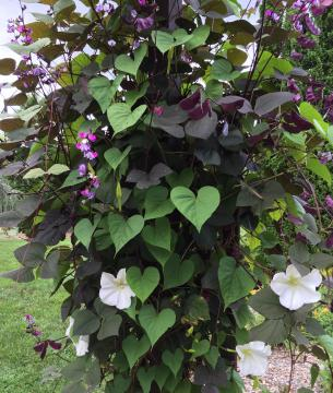 Combining Moonflowers with the LabLab bean is a majestic duo.
