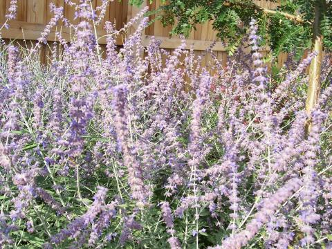 Russian sage is a flowering perinanial that can get up to 3 feet tall.