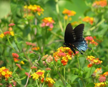 'Miss Huff' Lantanas will attract lots of butterflies. You should plant these in the summer.