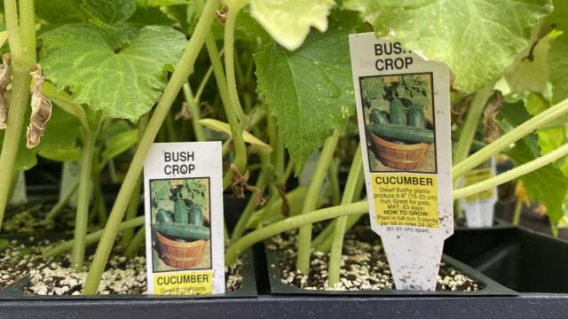 Cucumbers are great to plant during the summer! After planting, expect to harvest the veggie after 55 to 65 days