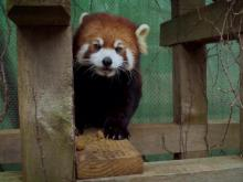 Meet Red Pandas at Greensboro Science Center