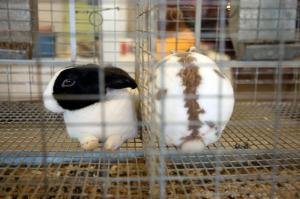 Two rabbits sit head-to-toe in their separate enclosures in the Rabbit Exhibit. (Photo by Sarah Cooper)