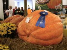 The blue ribbon pumpkin at the North Carolina State Fair weighed in at over 500 pounds.